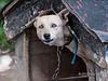 Sled-dog,-Usuhaia