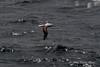 Royal-waved-albatross-3,-Beagle-Channel