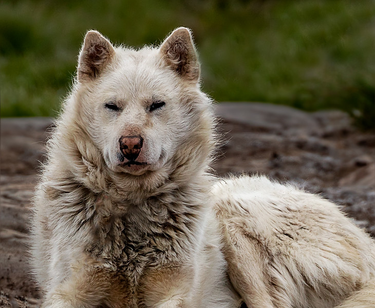 Greenlandic Sledgedog at rest