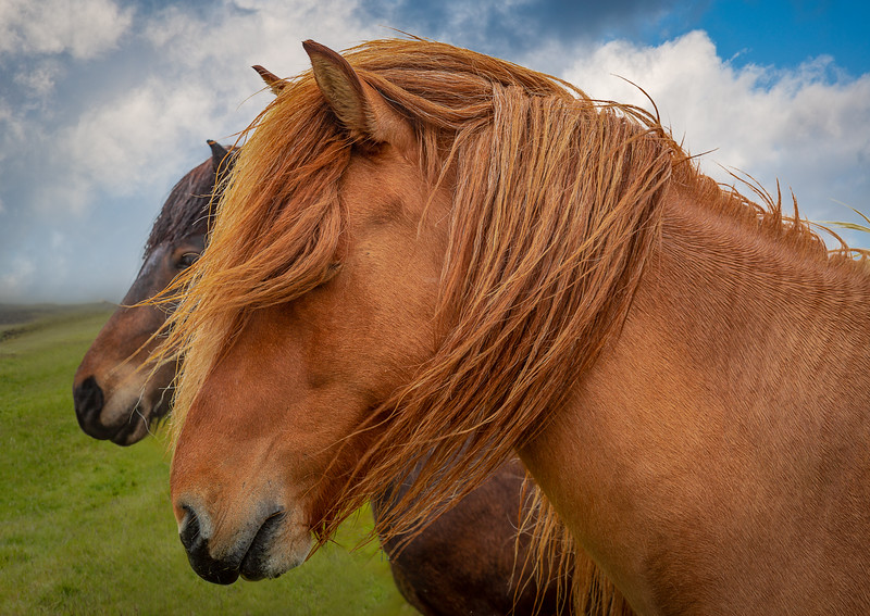 Friendly Horses of Iceland