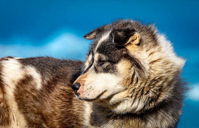 Greenlandic Sledgedog
