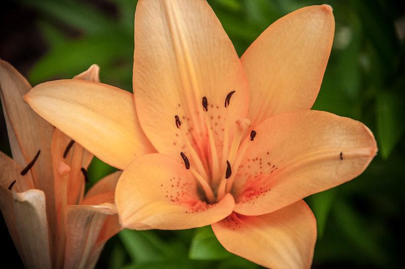 Hybrid Lily in Peach