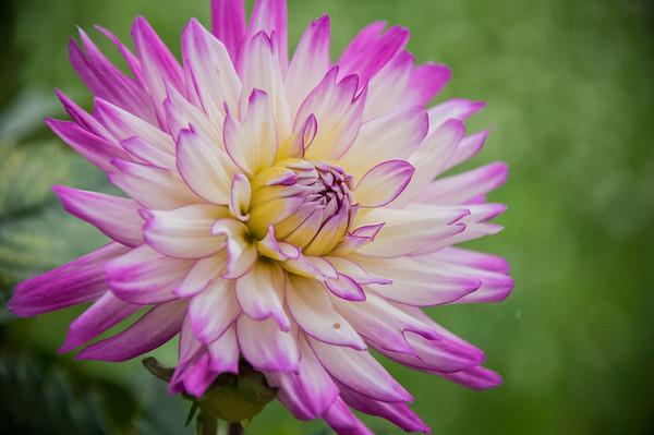 Veritable Dahlia Hybrid