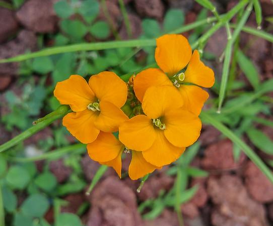 Orange Phlox
