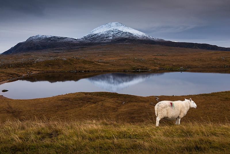 Roadside sheep near Loch Assynt