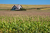 House In A Corn Field