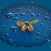 Butterfly on Blue