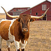 Texas Long Horn & Barn