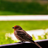 My front yard house finch