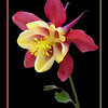 Red & Yellow Columbine