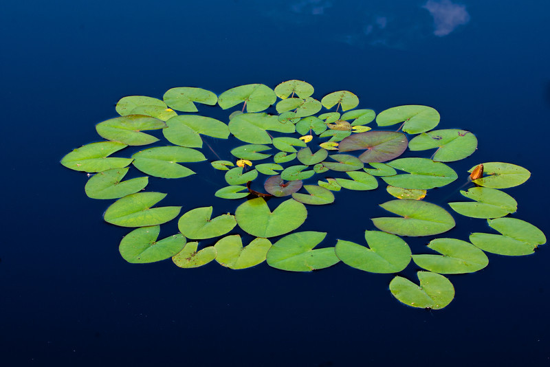 green lily pads