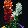 Snap Dragons in Red & White