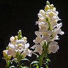 Snap Dragons in White