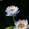 Powder Blue lily Twins.