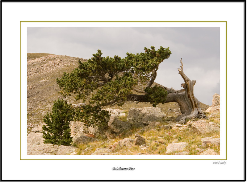 Windy Bristle-cone Pine