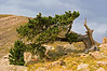 Windy Bristle Cone Pine