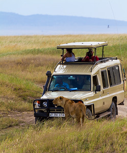 Tourist taking photograph of lioness - East Africa - Tanzania