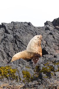 A fat and curious Steller Sea Lion sits atop a rock along the coast of Alaska