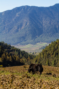 A lone yak grazes on the hillside in front of rural Phobjuka Valley in Bhutan