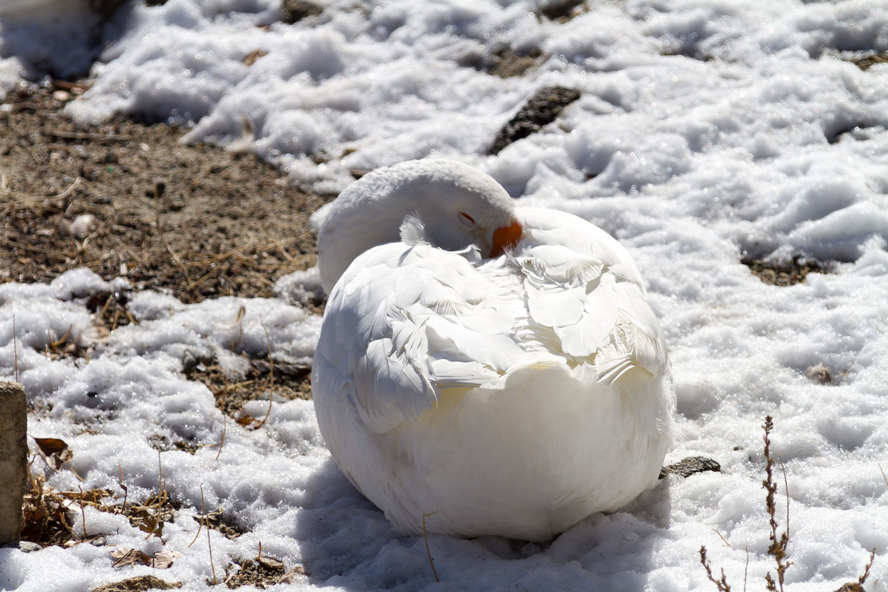 Duck resting in snow - USA - California - Lake Arrowhead