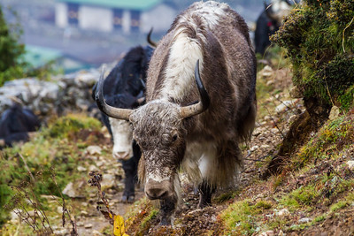 Yaks walking near mountain - Nepal