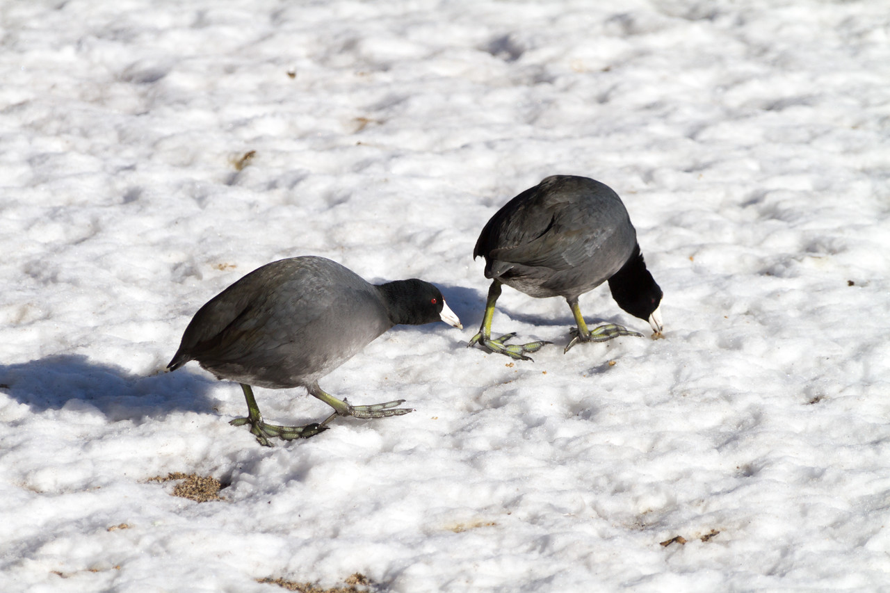 Birds walking in snow - USA - California - Lake Arrowhead