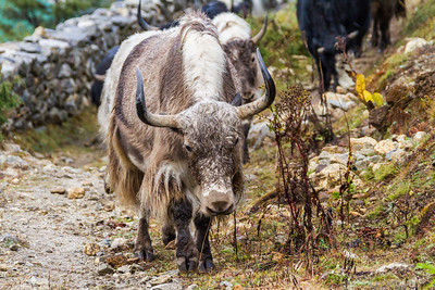 Yaks walking beside stone wall - Nepal