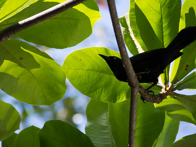 Black Bird in Jamacia