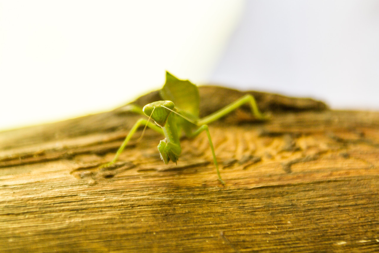 Praying mantis - East Africa - Tanzania