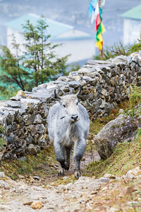Yak walking beside stone wall - Nepal