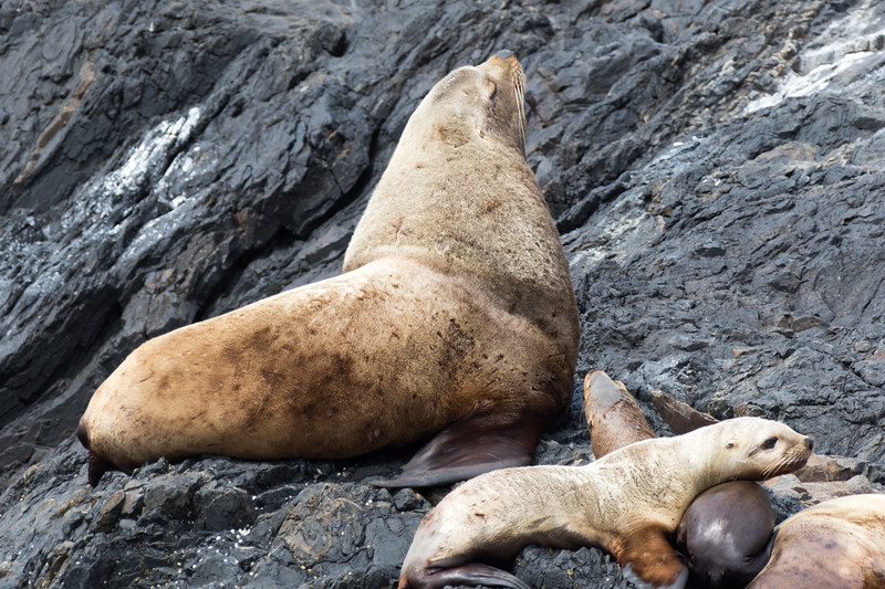 Stellers sealions lounging about on the rocks of a Southeast Alaska island in the summer.