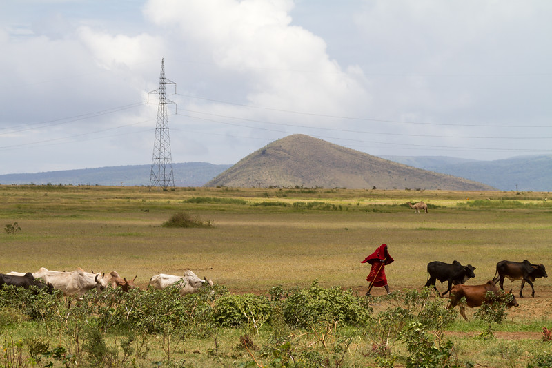 Man herding cattle - East Africa - Tanzania