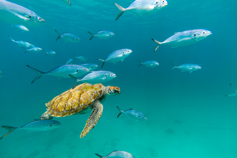 A hawksbill sea turtle (Eretmochelys imbricata) swims beneath the surface of the Caribbean Sea at Barbados