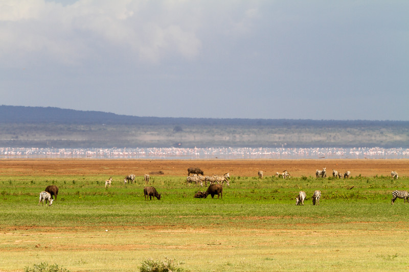 Zebras and cows at Lake Manyara National Park - East Africa - Tanzania