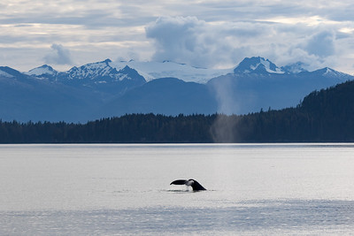 A humpback whale fluke is seen in front of the coastal range of mountains in Frederick Sound of Alaska.