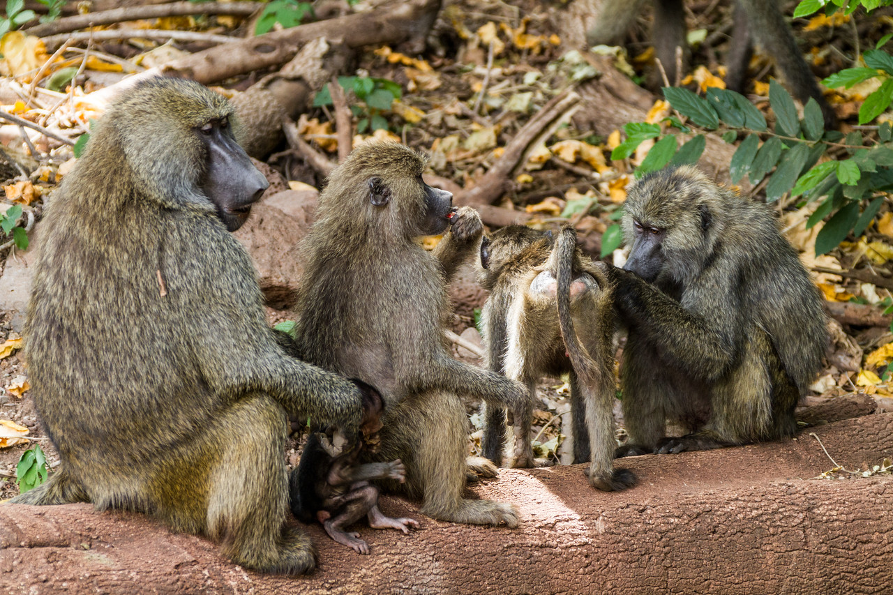 Monkeys sitting on branch - East Africa - Tanzania