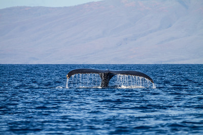 A Whale Of A Tale, Maui, Hawaii
