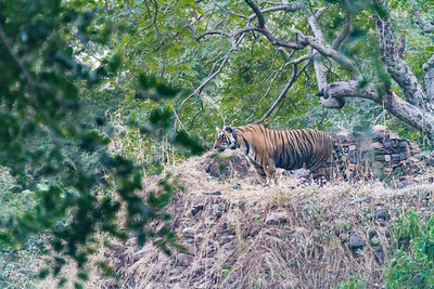 A bengal in Ranthambore National Park sits atop a ruined fortress wall