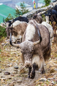 Yaks walking - Nepal