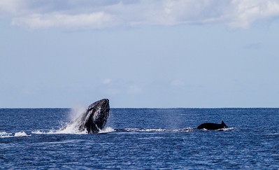 Whales swimming in sea - USA - Hawaii
