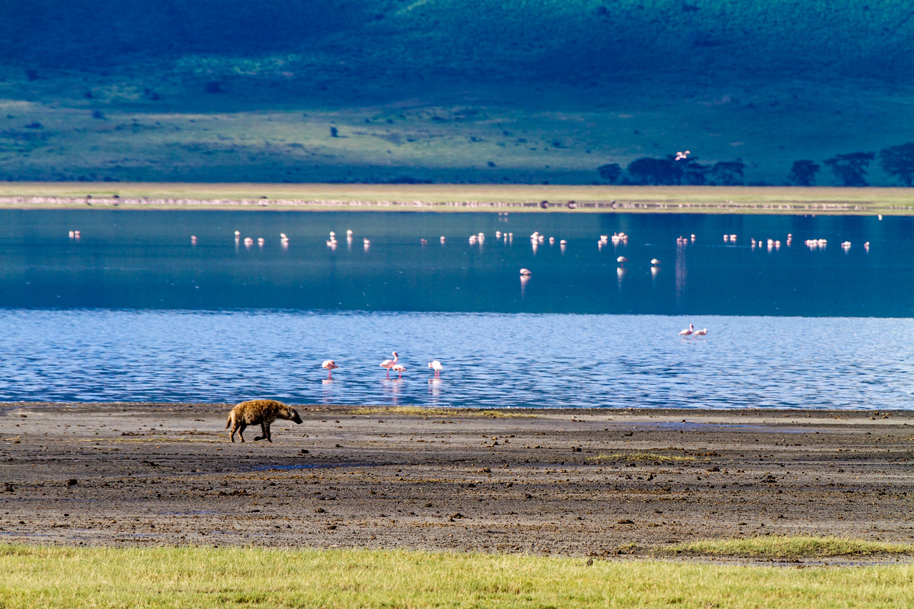 Flamingos and Golden Jackal at Ngorongoro conservation area - East Africa - Tanzania