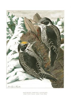 White-Backed Three-Toed Woodpecker