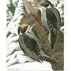 White-Backed Three-Toed Woodpecker