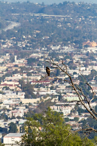 Eagle sitting on branch with city in background - USA - California