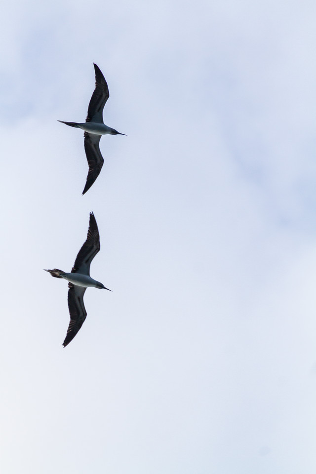View of frigate birds flying - Mexico