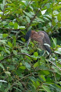 A night heron stares at the camera with a goofy look on its face and then hunts for food