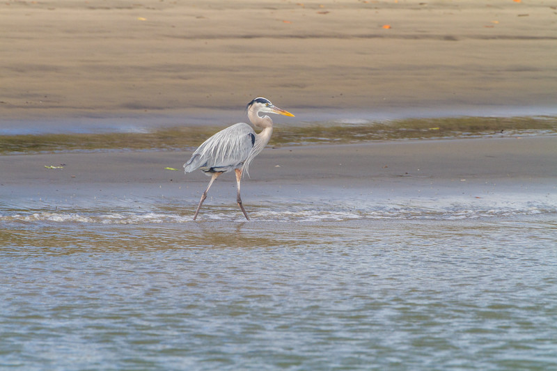 Heron walking in water - Mexico