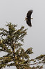 A bald eagle takes flight, with wings wide spread, from a tree top in Alaska