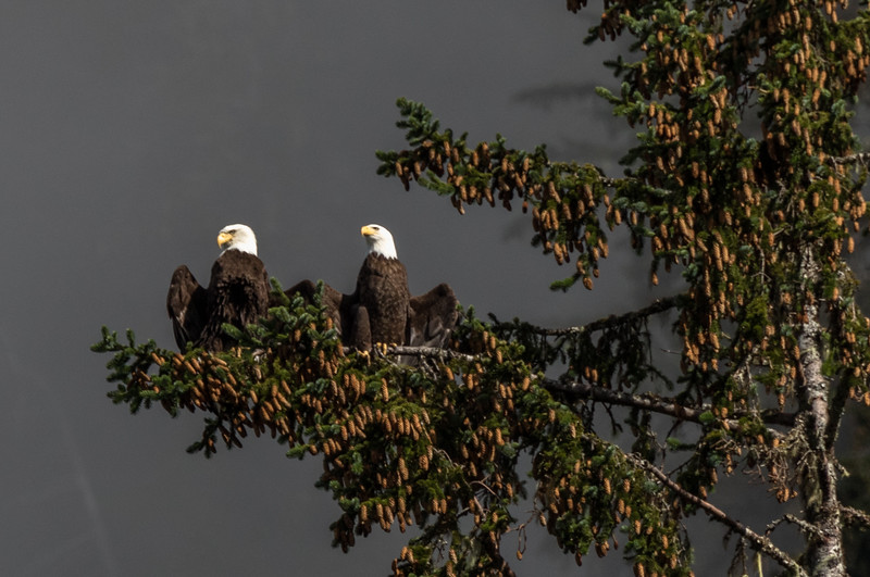 A paid of bald eagles suns themselves in a fir tree overly ripe with cones