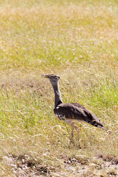 Kori bustard on grass - East Africa - Tanzania